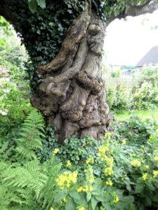 Stamm eines alten Kirsche-Baums (unterer Teil), im Garten, mit etwas Efeu bewachsen.